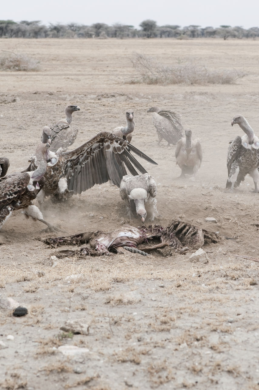 Vulture Pack