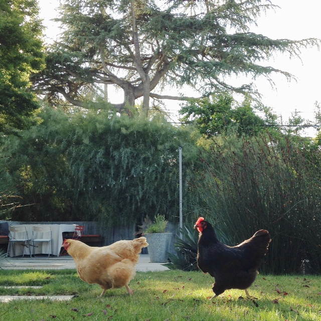 The girls on their afternoon walk in our urban homestead.