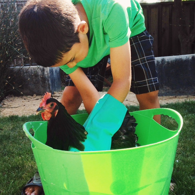 One of our littlefarmers bathing our Australorp hen.