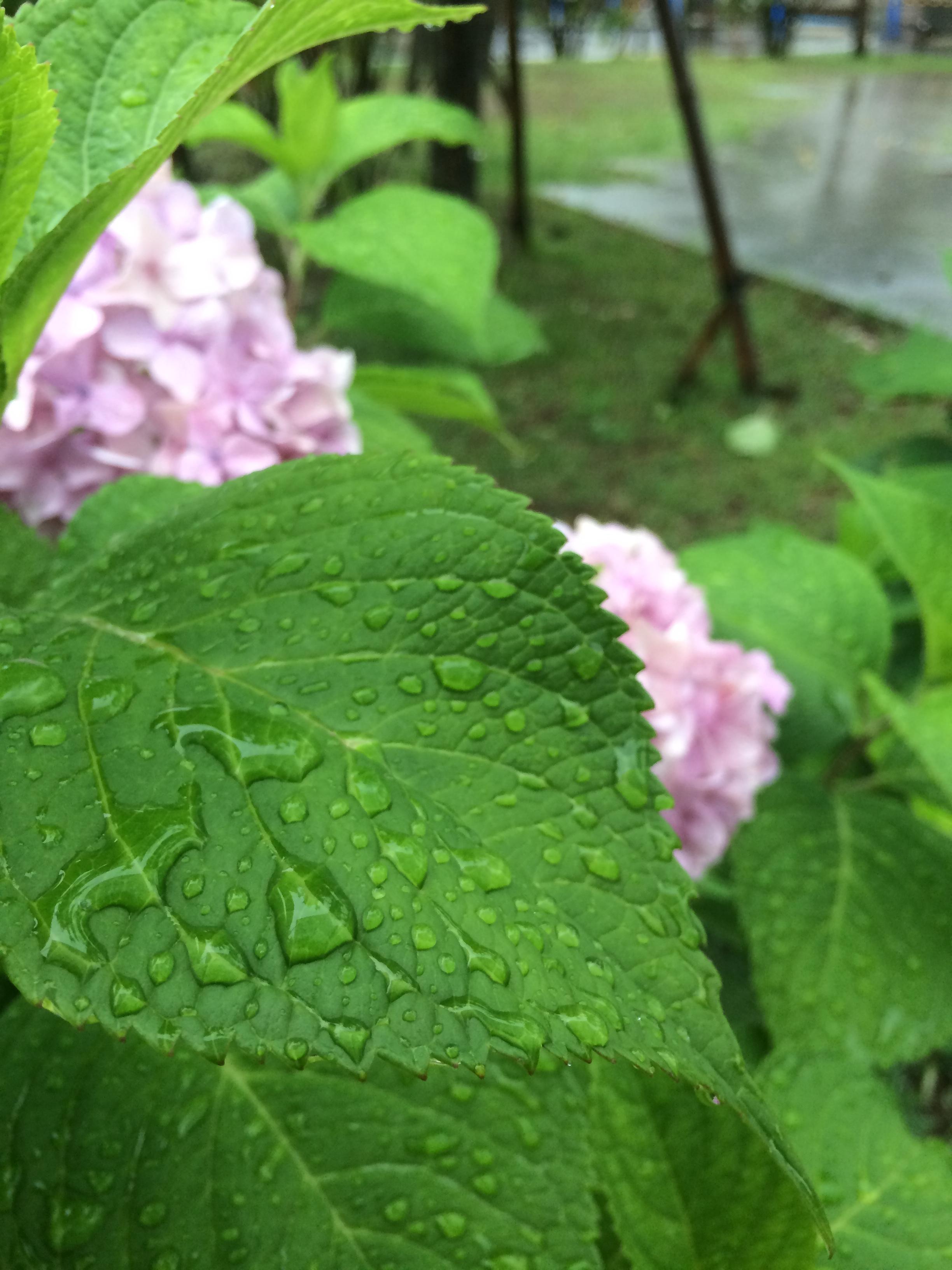 アジサイの葉。表面全体に在る水滴。