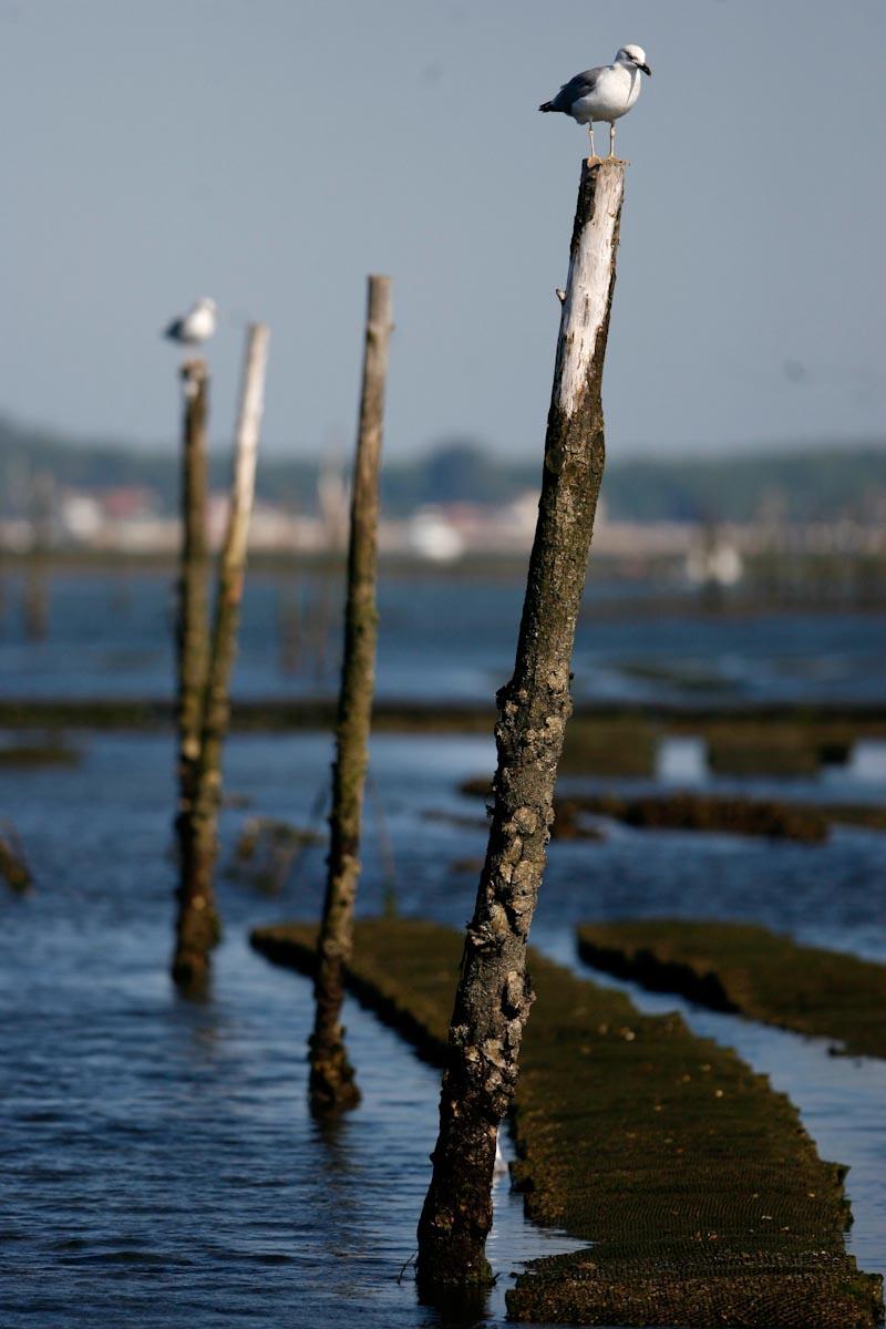 Oyster Field