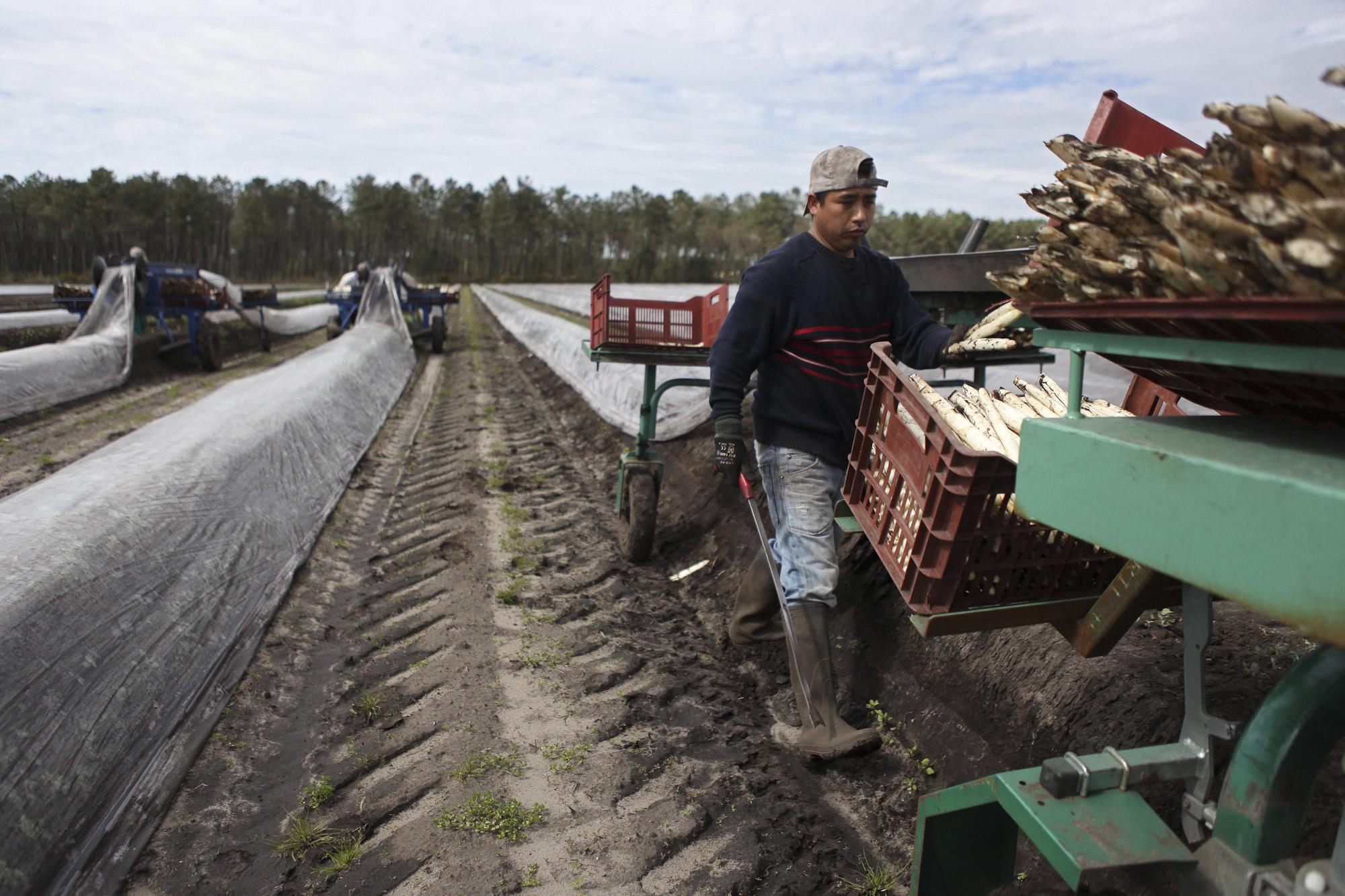Francis and Michel Lalanne's Asparagus Farm. Ecuadorian workers harvesting white asparagus.