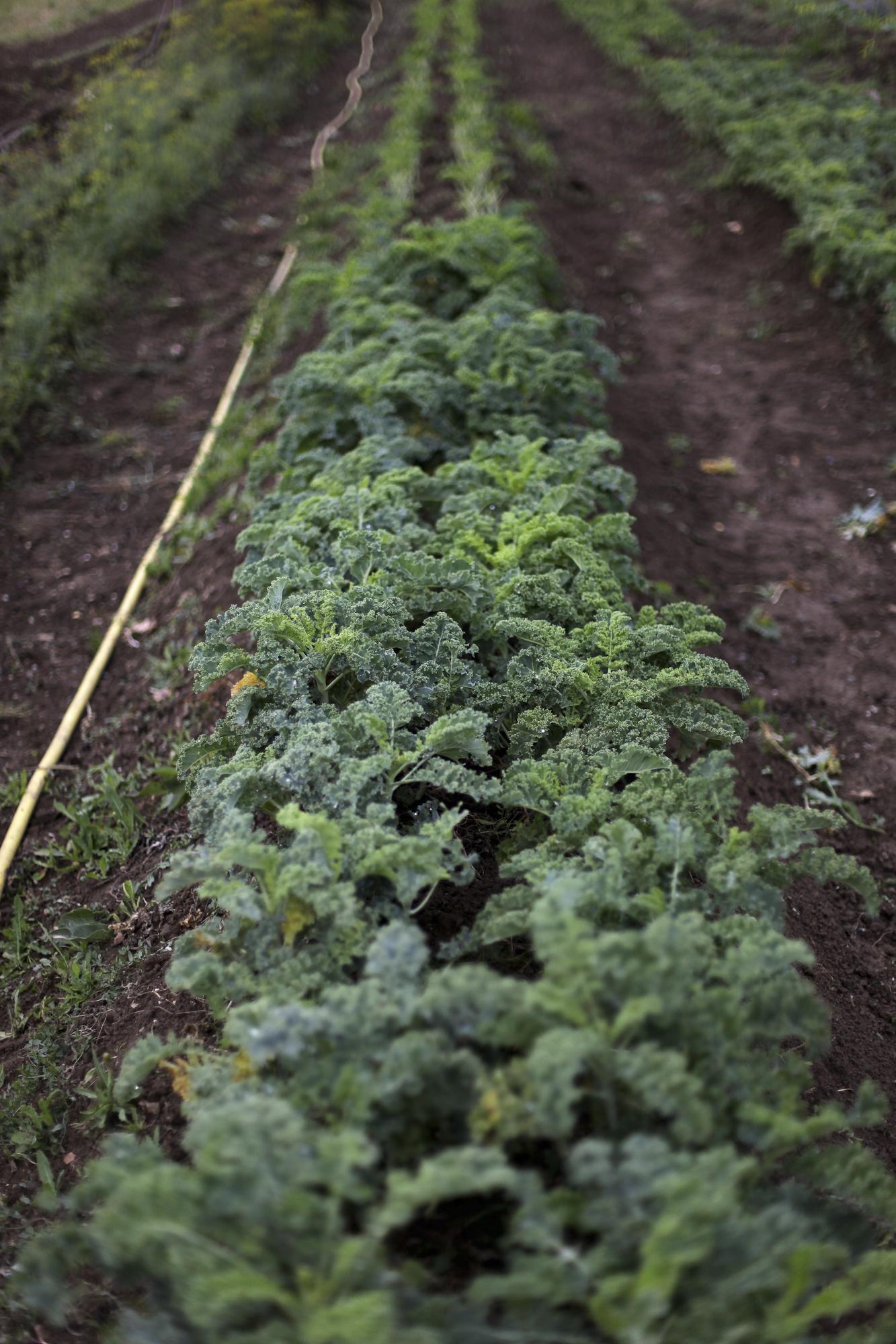 Hermione Boehrer's farm in Coulommiers.Kale field.