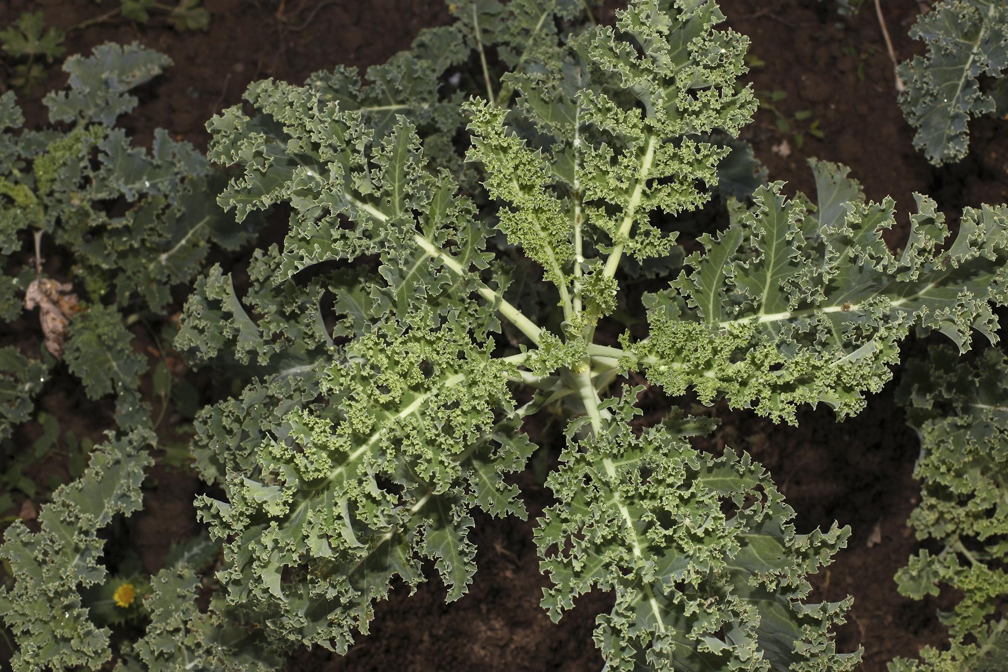 Hermione Boehrer's farm in Coulommiers.Kale.