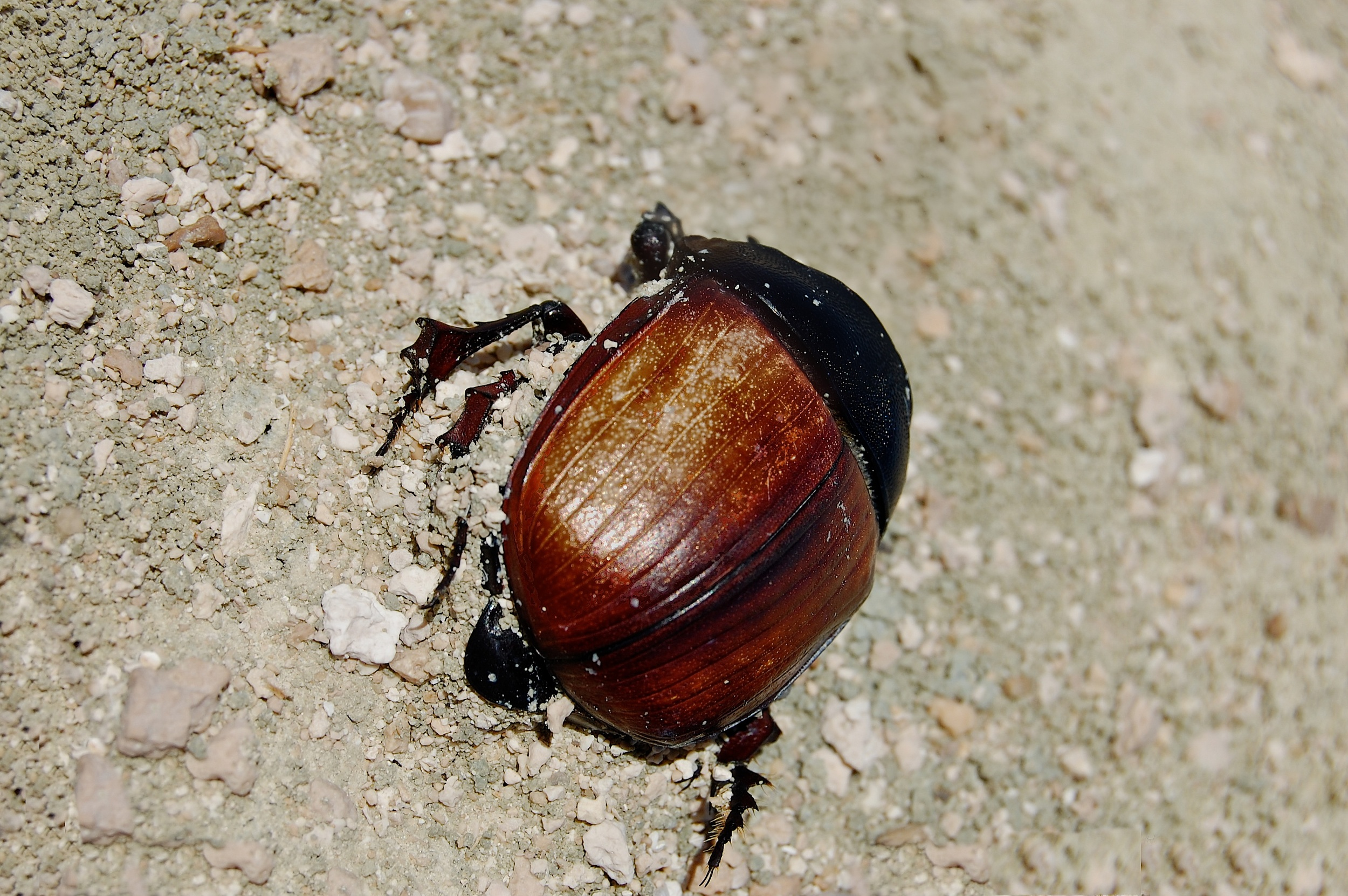 Bettle bug - Version 2.jpg