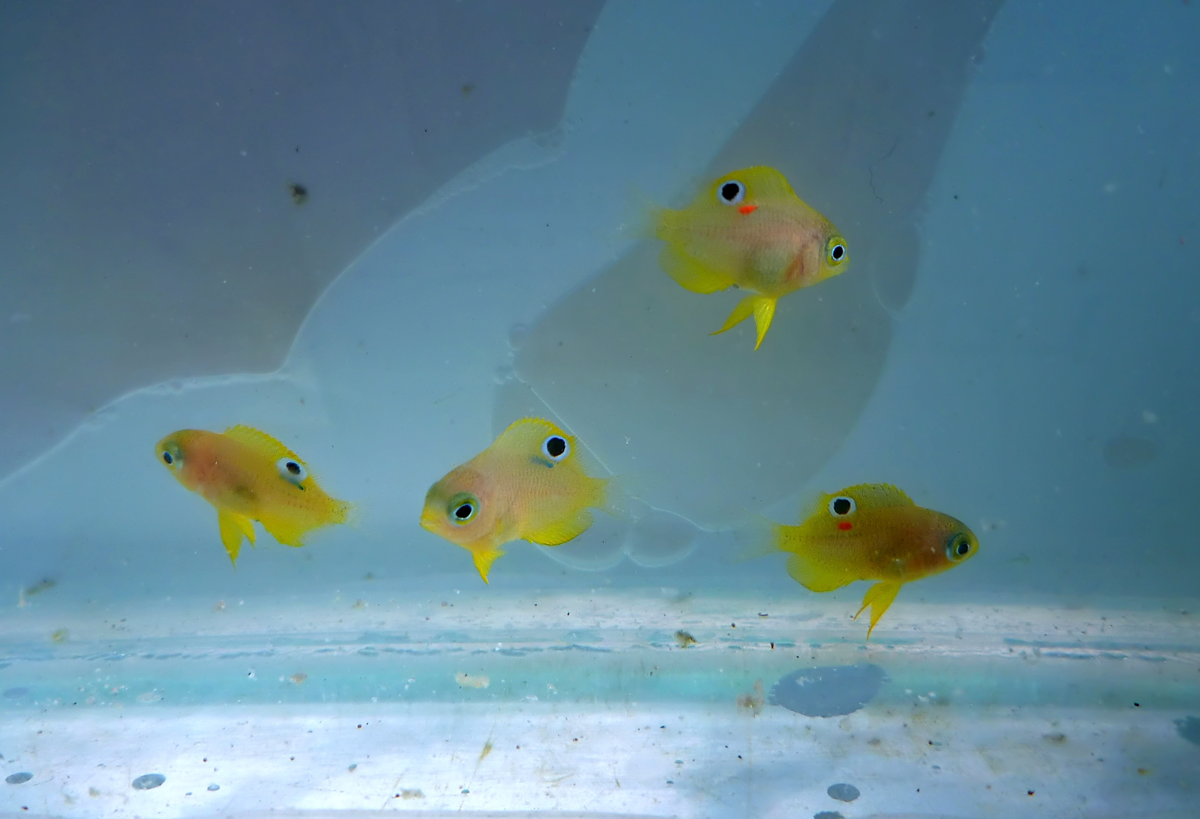 Juvenile Ambon damselfish with individual coloured tags for identification.
