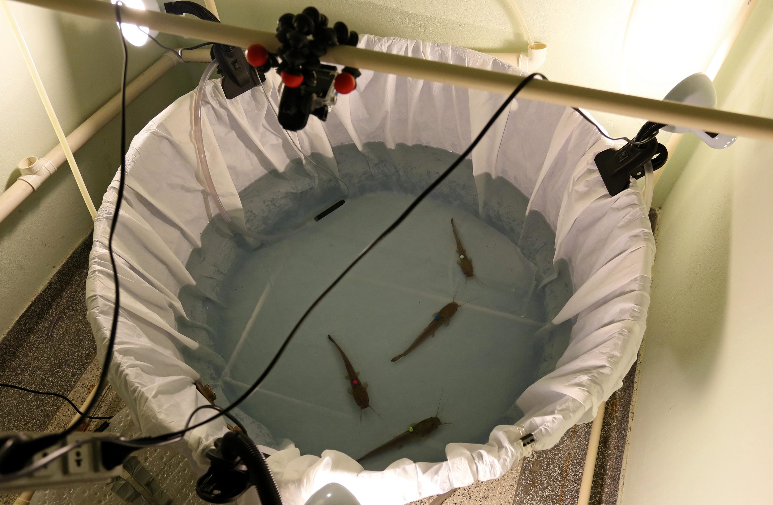 The arena used to study air-breathing behaviour in groups of catfish. The tank was originally blue, but we needed it to be white for the filming. Urine-proof bed sheets to the rescue!