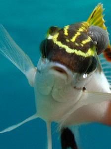 Photo of fish swimming with an external isopod parasite, courtesy of Sandra Binning.