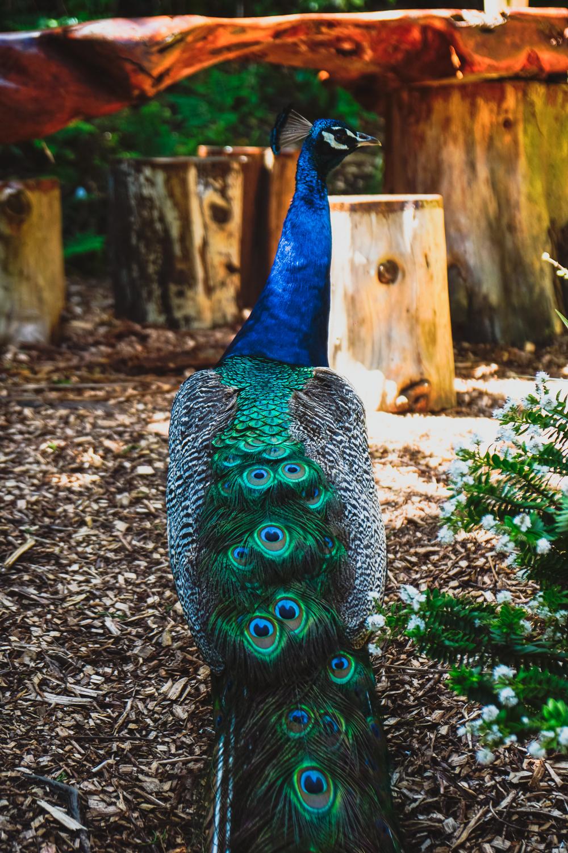 Peacock at Wharariki Beach, Puponga, South Island