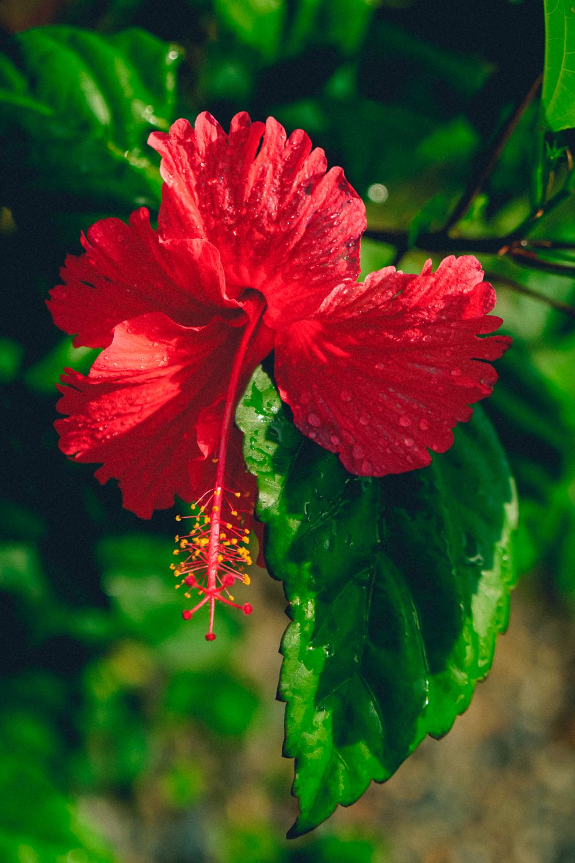 Cooper's Variegated Hibiscus, Fiji
