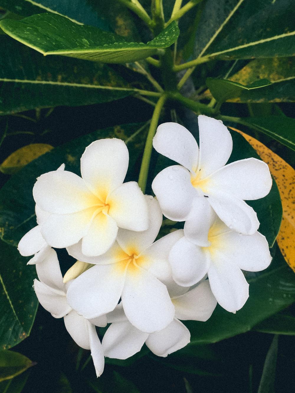Plumeria, Fiji