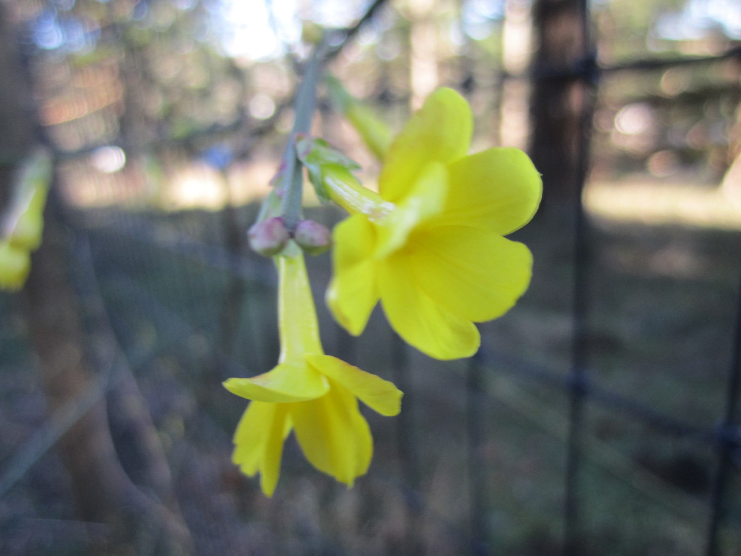 Winter Jasmine, blooming at below 20 degrees farenheit!