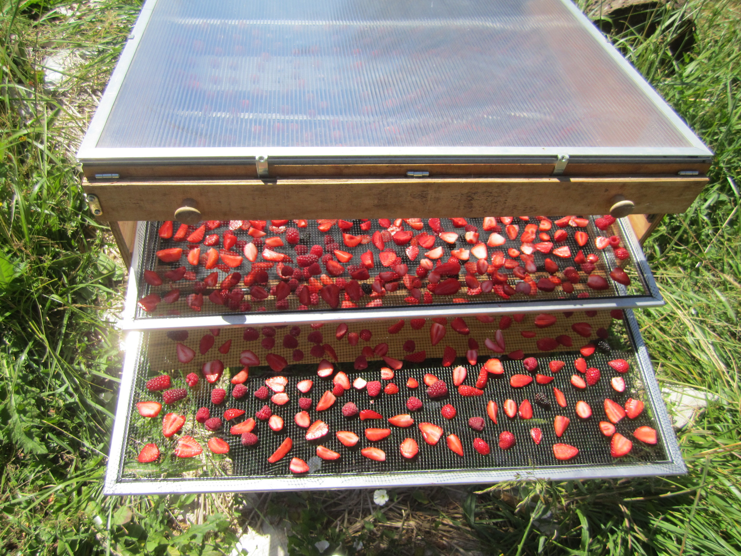 Solar drying berries earlier in the season.