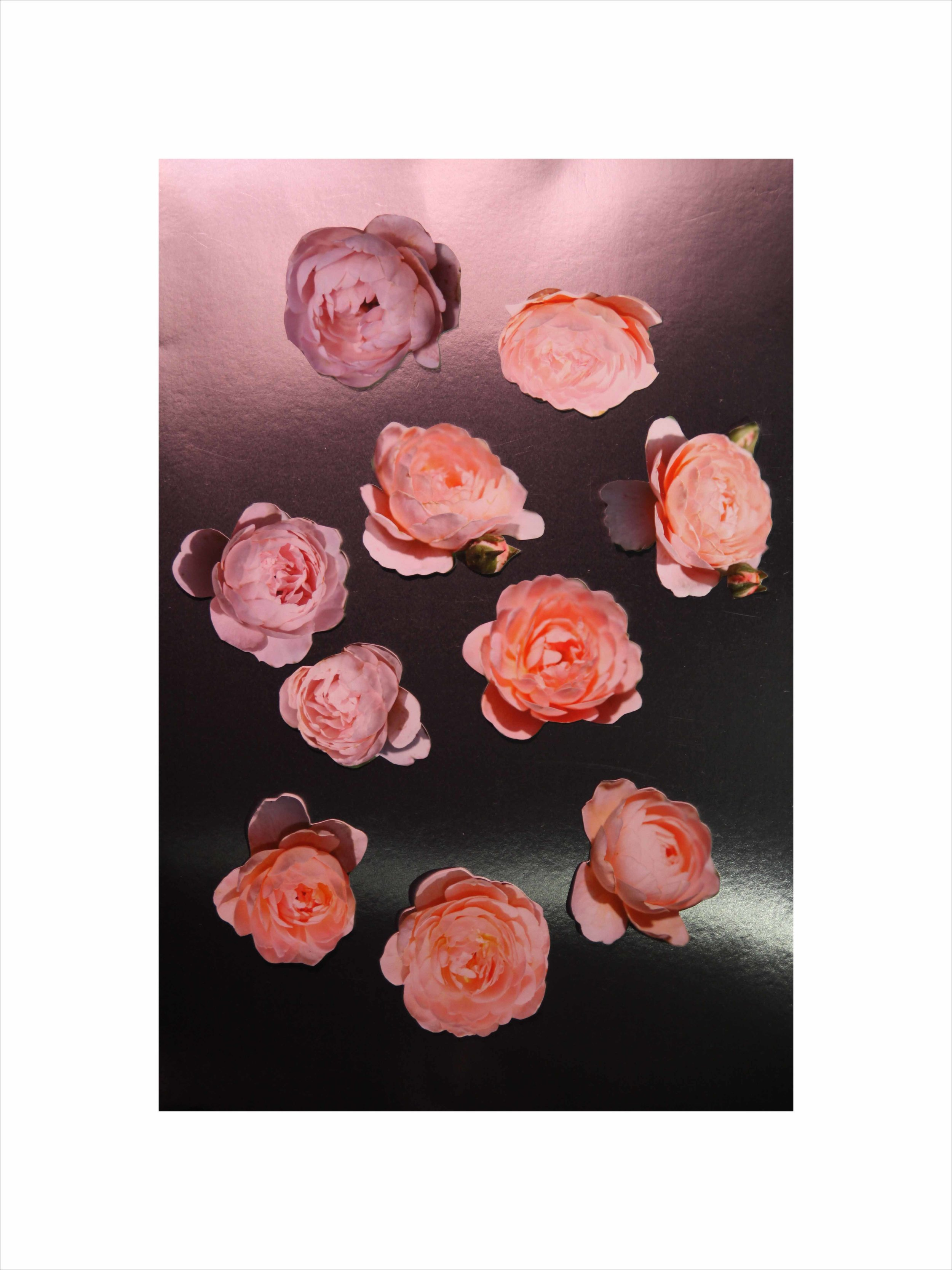 Queen of Sweden Roses I,    2019  Digital photography  32H x 24W inches
