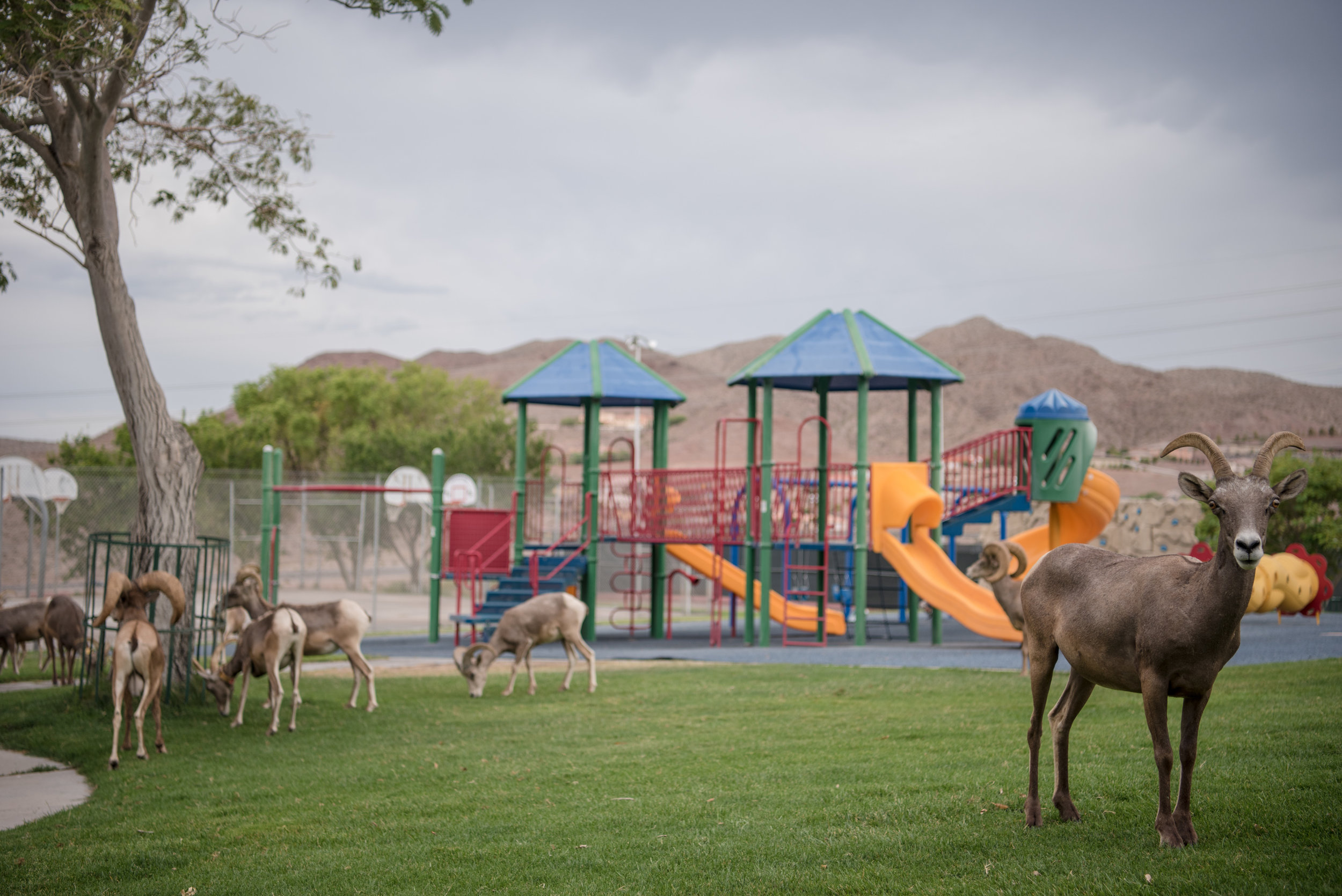 Bighorn sheep at Hemenway Park on Tuesday, July 18, 2017, in Boulder City. Morgan Lieberman Las Vegas Review-Journal