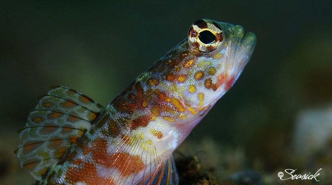 SEASICK WEB BALI15 Freckled Shrimpgoby.jpg