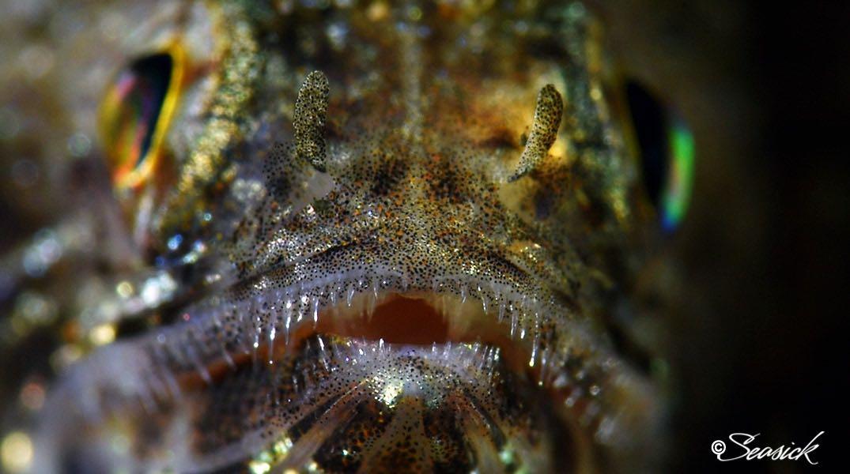 SEASICK WEB BALI15 Lizardfish.jpg