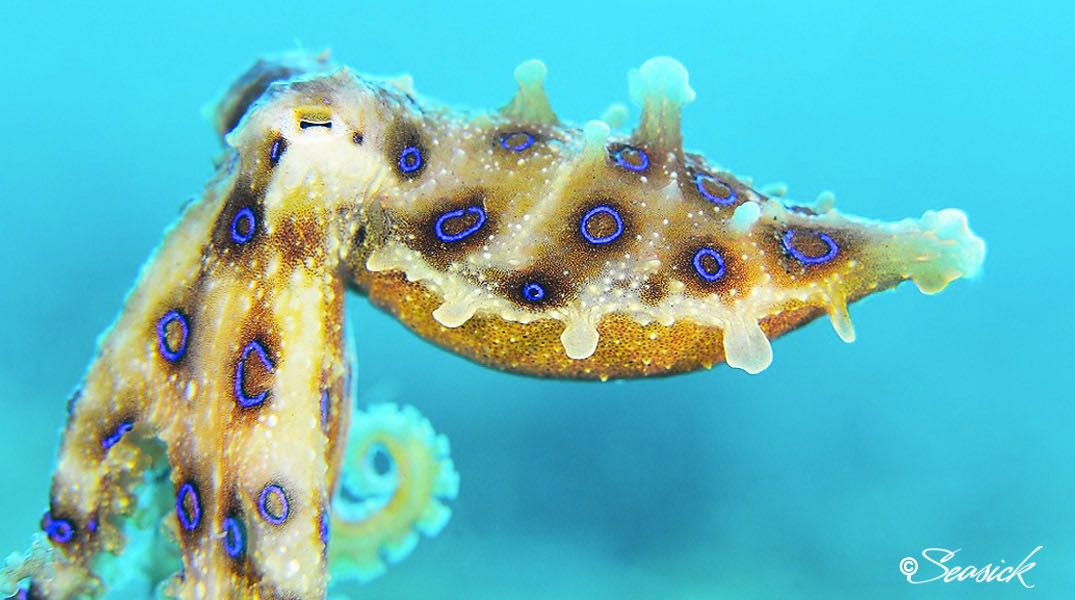SEASICK WEB BALI14 Blue-ring Octopus.jpg