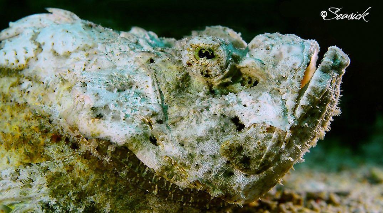SEASICK WEB BALI14 Scorpionfish.jpg