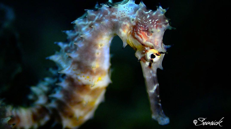 SEASICK WEB BALI14 Seahorse.jpg
