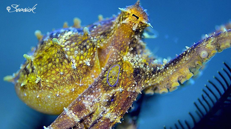 SEASICK WEB BALI14 Octopus.jpg