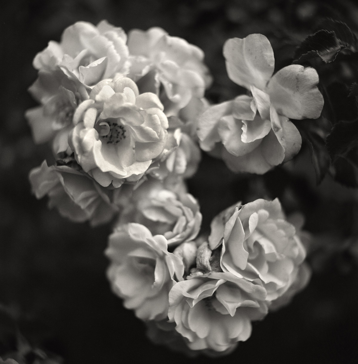 Rosesmaldeen.jpg