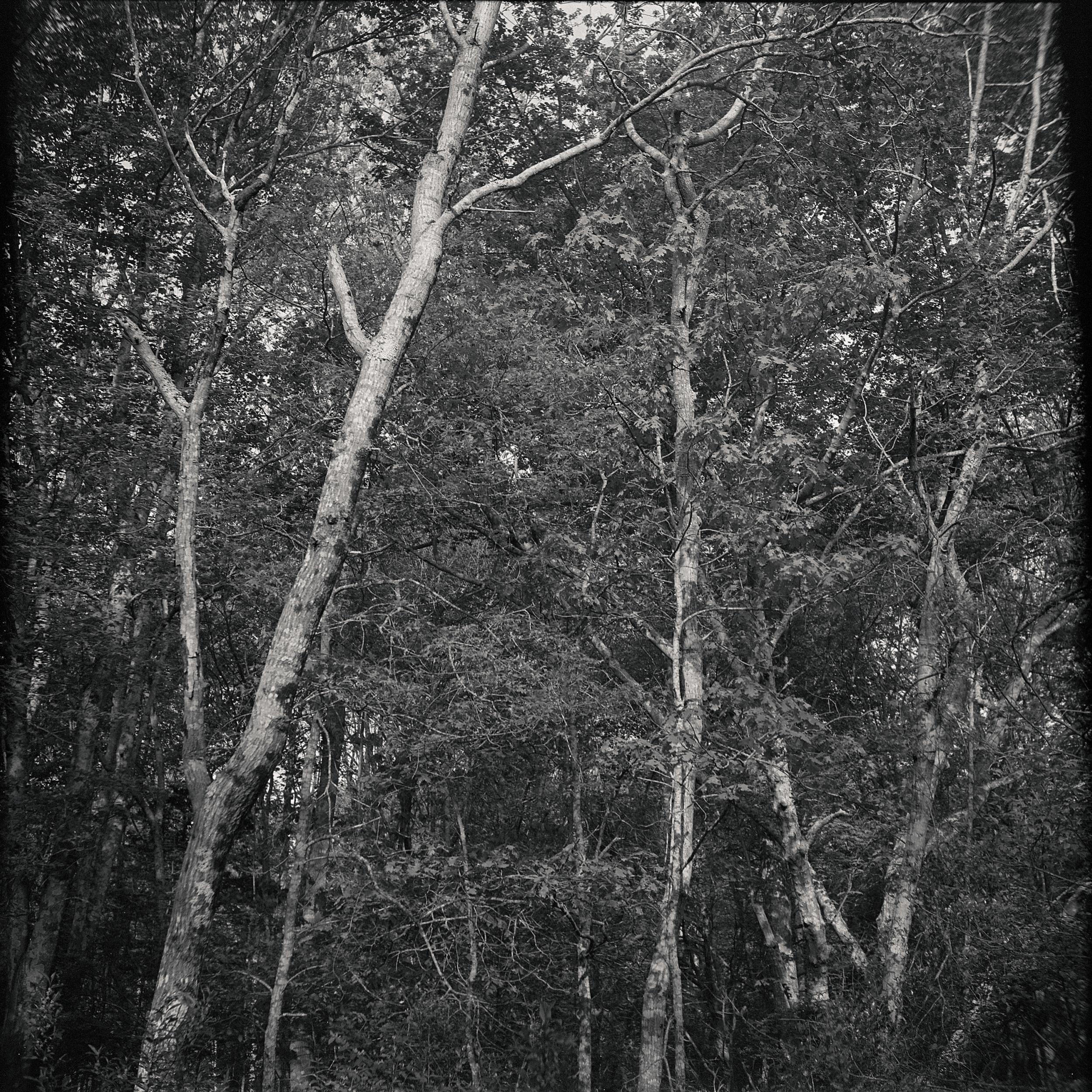 TreesJune001.jpg