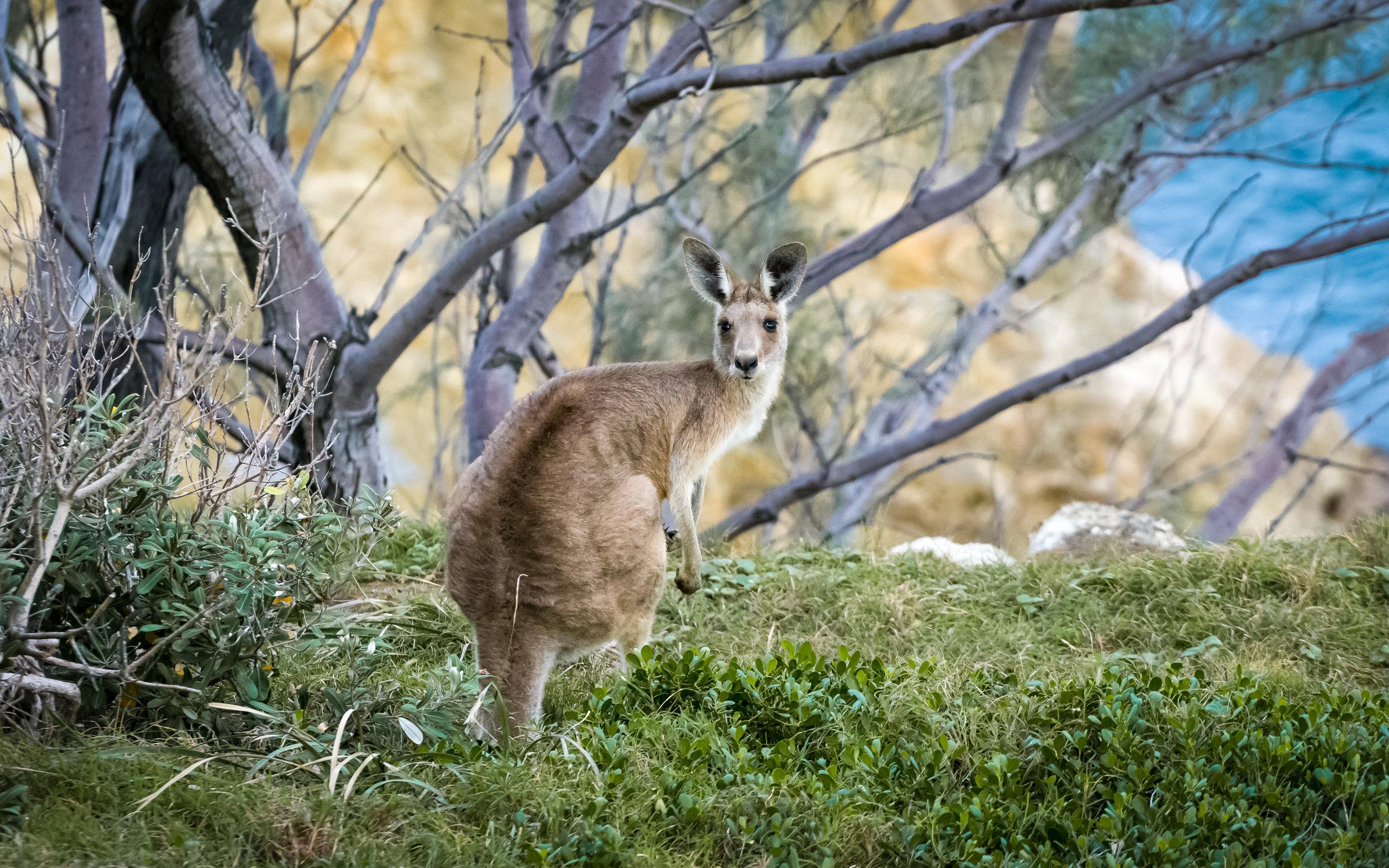 Grey Kangaroo on Stradbroke Island - A7RII in APS-C mode and FE70200F4 G OSS