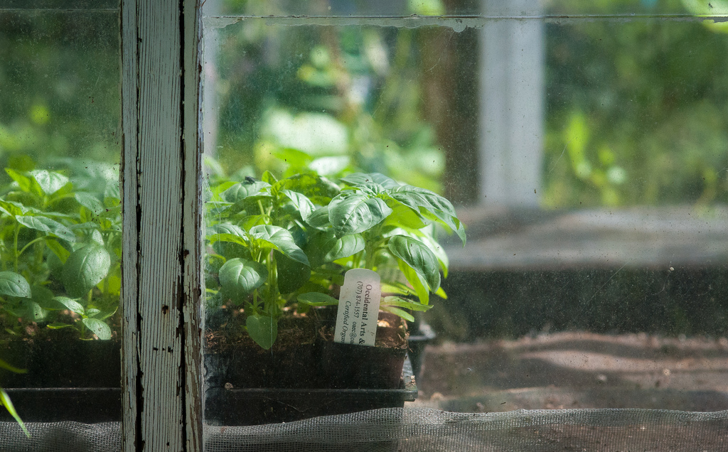 basil greenhouse.jpg