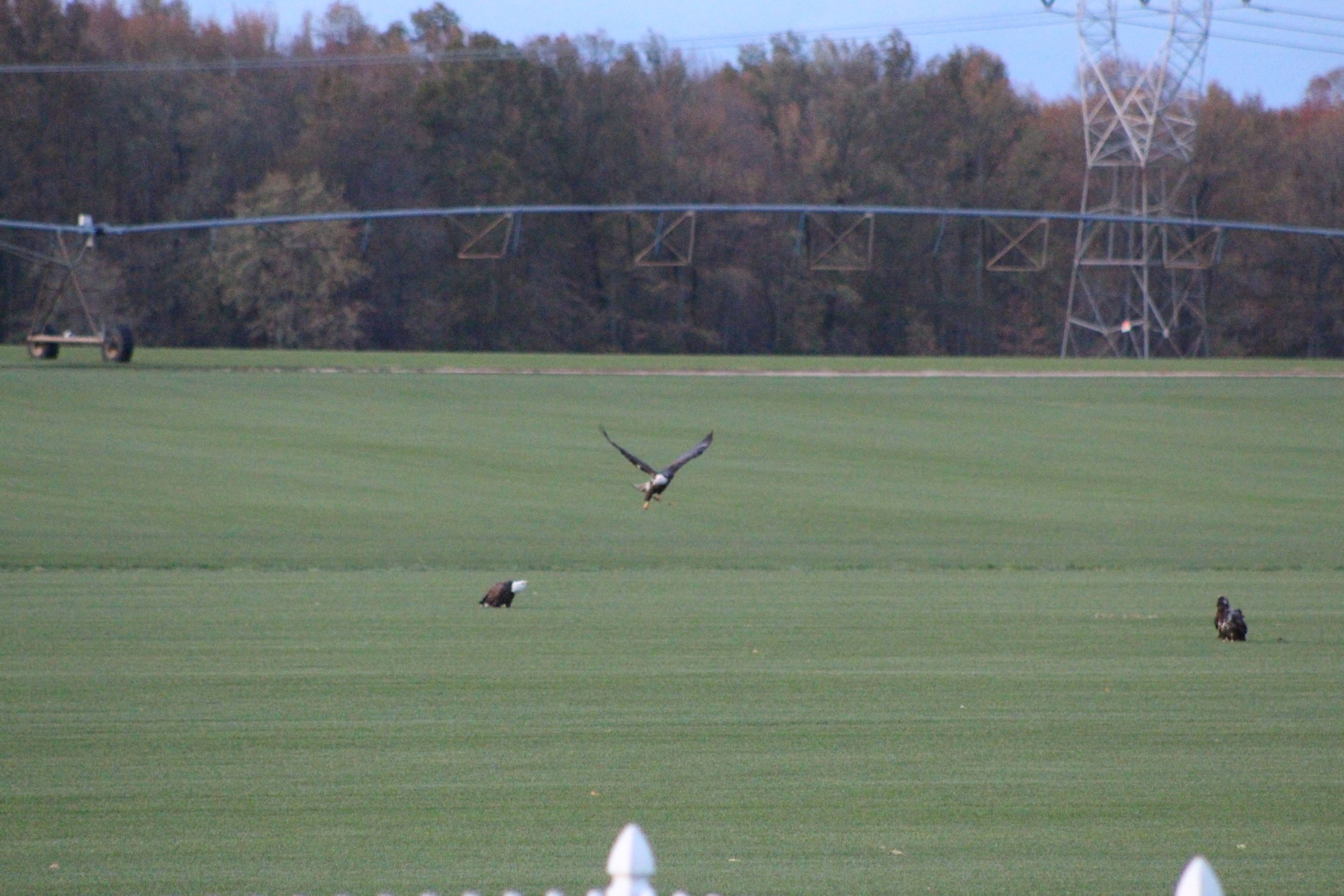 Eagles on the tall fescue at the Joe Coombs farm in 2014