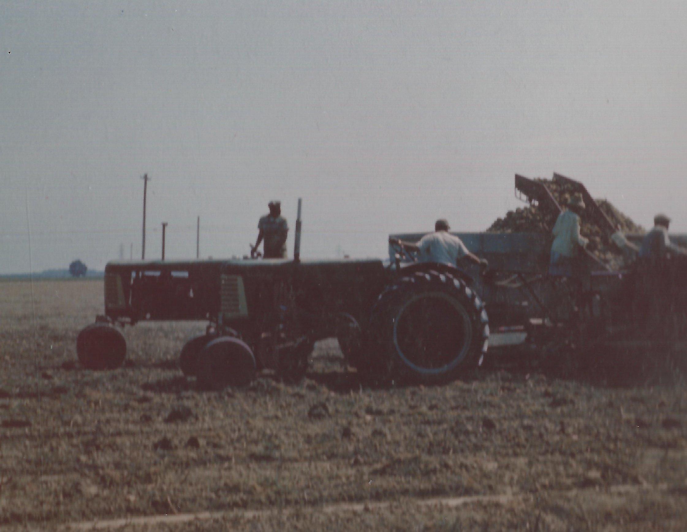 Harvesting potatoes in 1950's