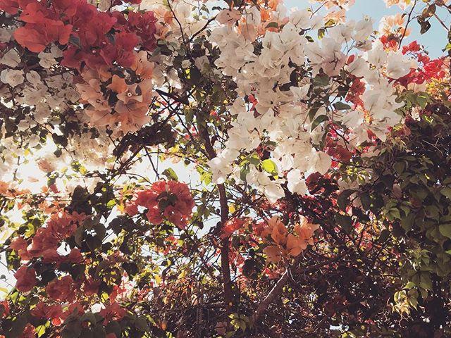 Living life in full bloom #summer #bougainvillea #garden #dessertlover #labohemiabaja #todossantos #baja #hotel #comestaywithus
