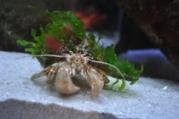 SSC_Flat-clawed_Hermit_Crab_Web210-179x120.jpg