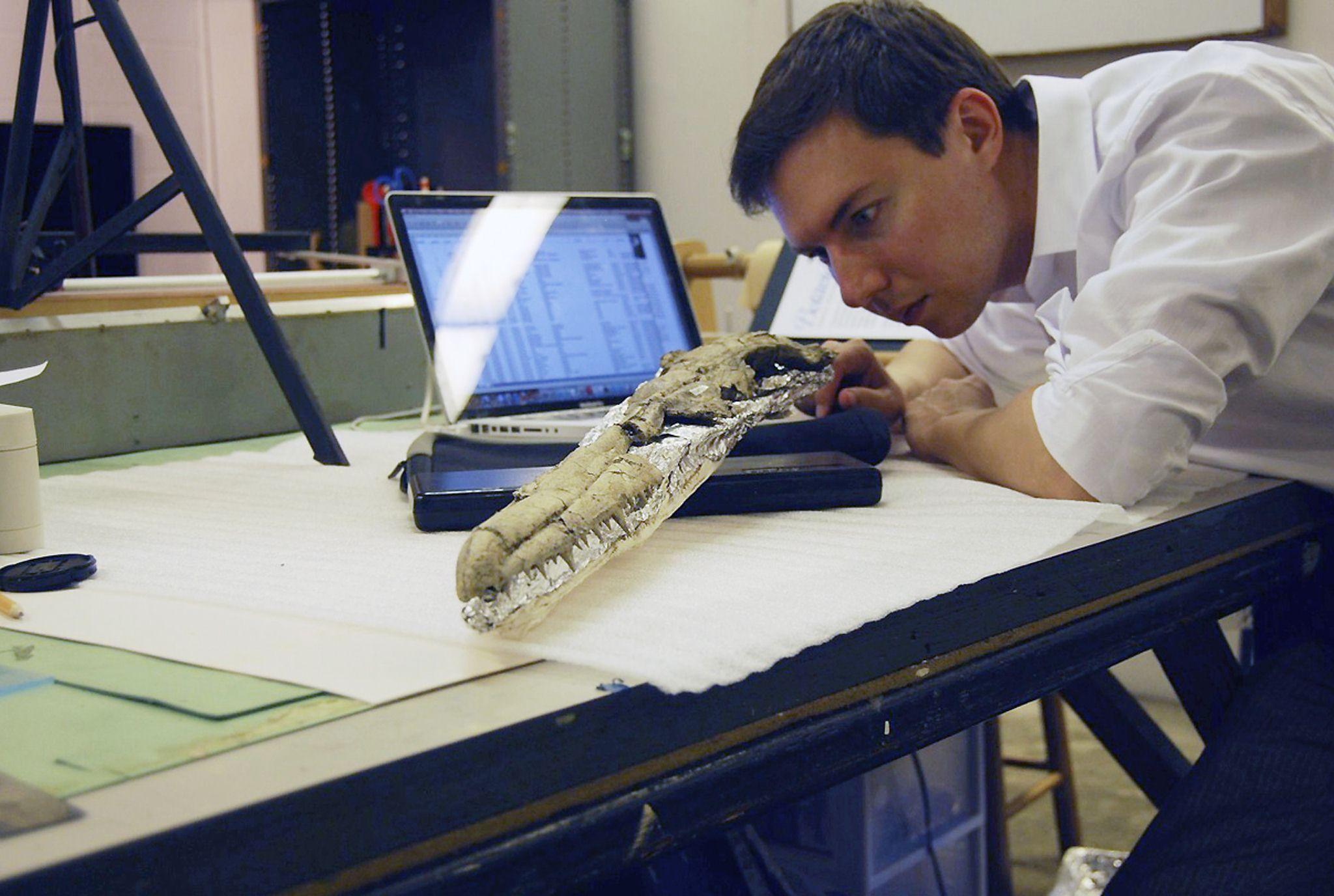 Daniel Ksepka studying the fossil skull of Pelagornis sandersi , the largest known flying bird.