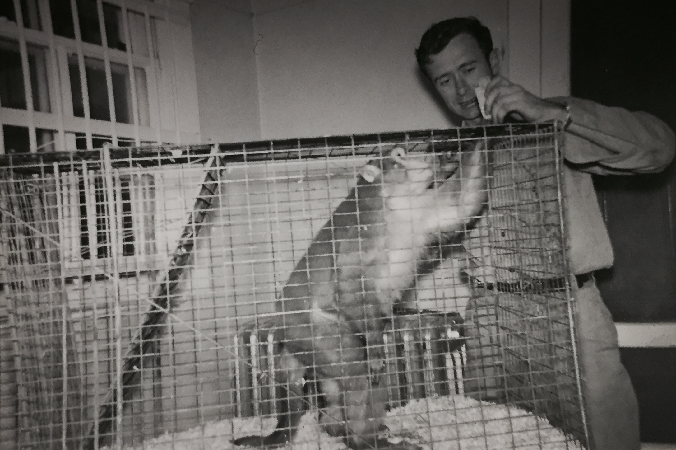 Joe, the rhesus macaque, enjoying a snack in the old Bruce Museum zoo.
