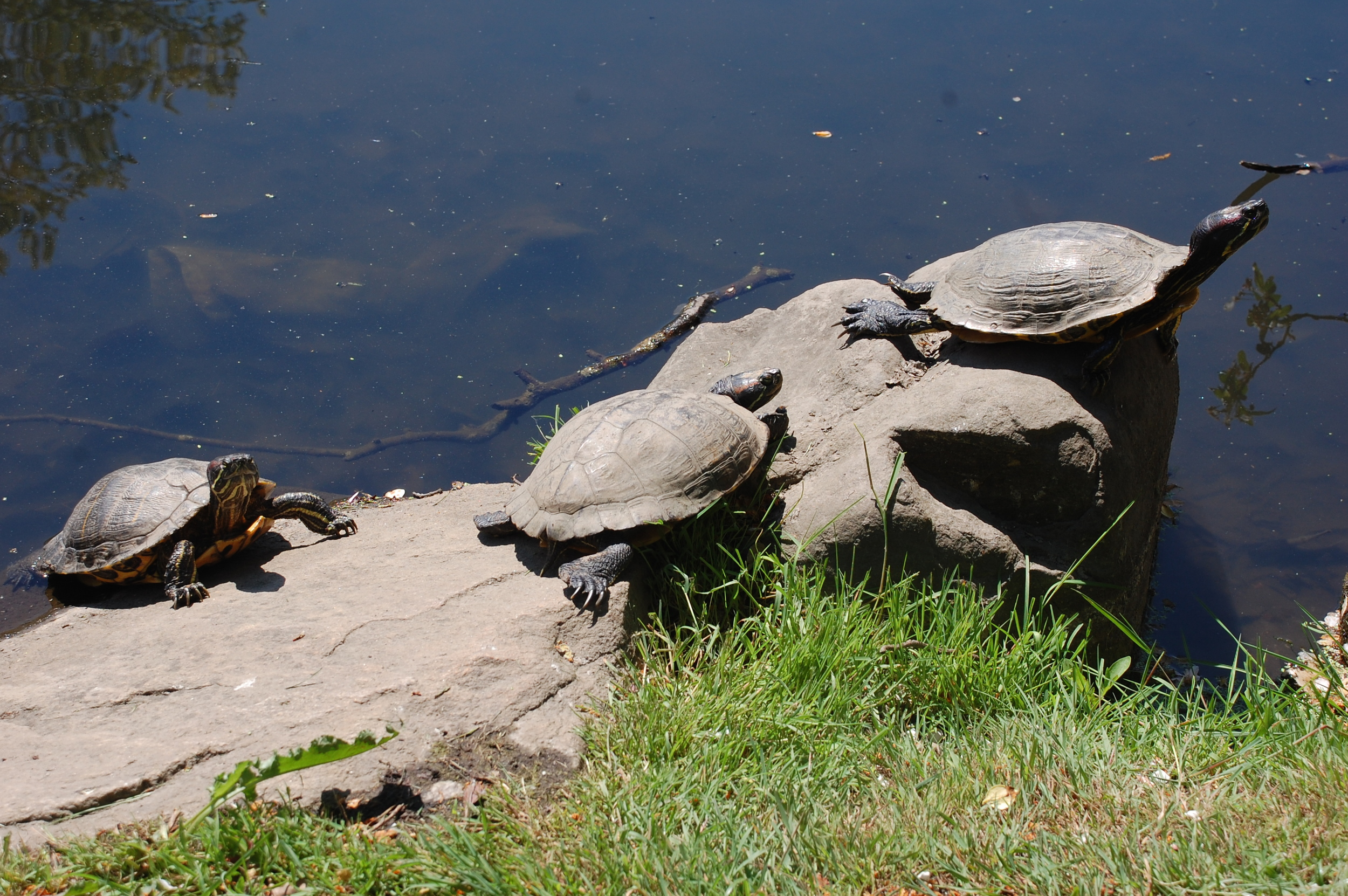 Eastern painted turtle (left) and red-eared sliders basking in the Spring sun.  Photo by Cynthia Ehlinger.