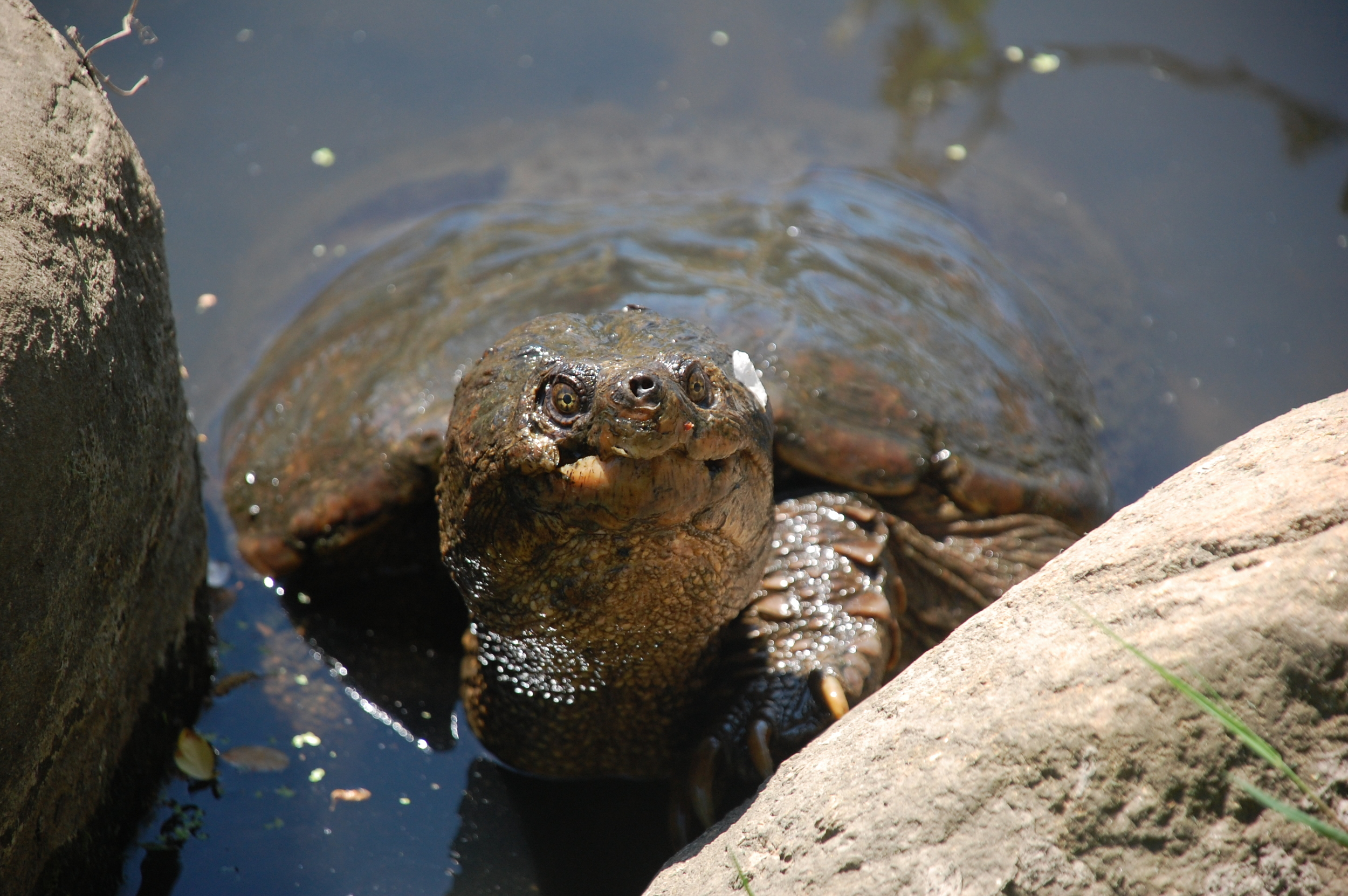 Inquisitive snapping turtle.  PHOTO BY CYNTHIA EHLINGER.