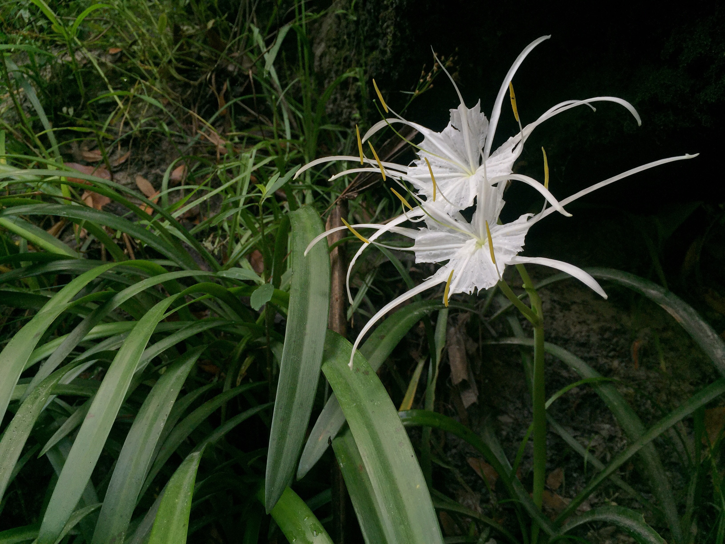 Unidentified lilly.