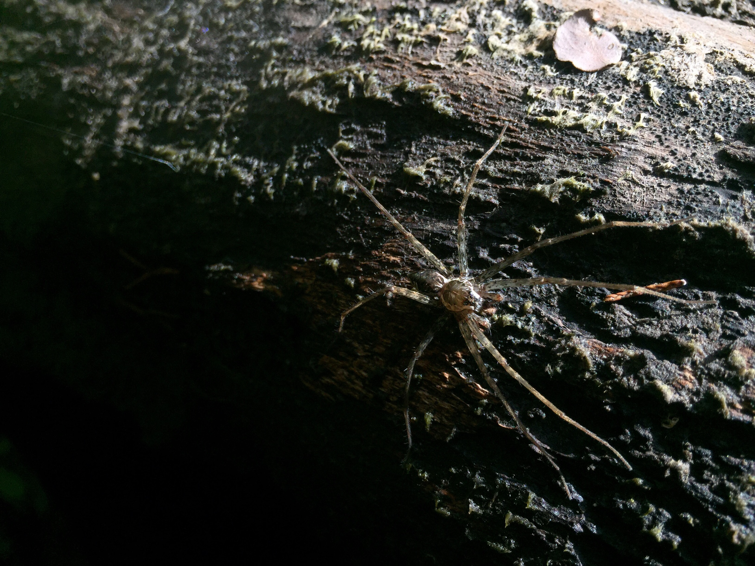 Six-spotted fishing spider.