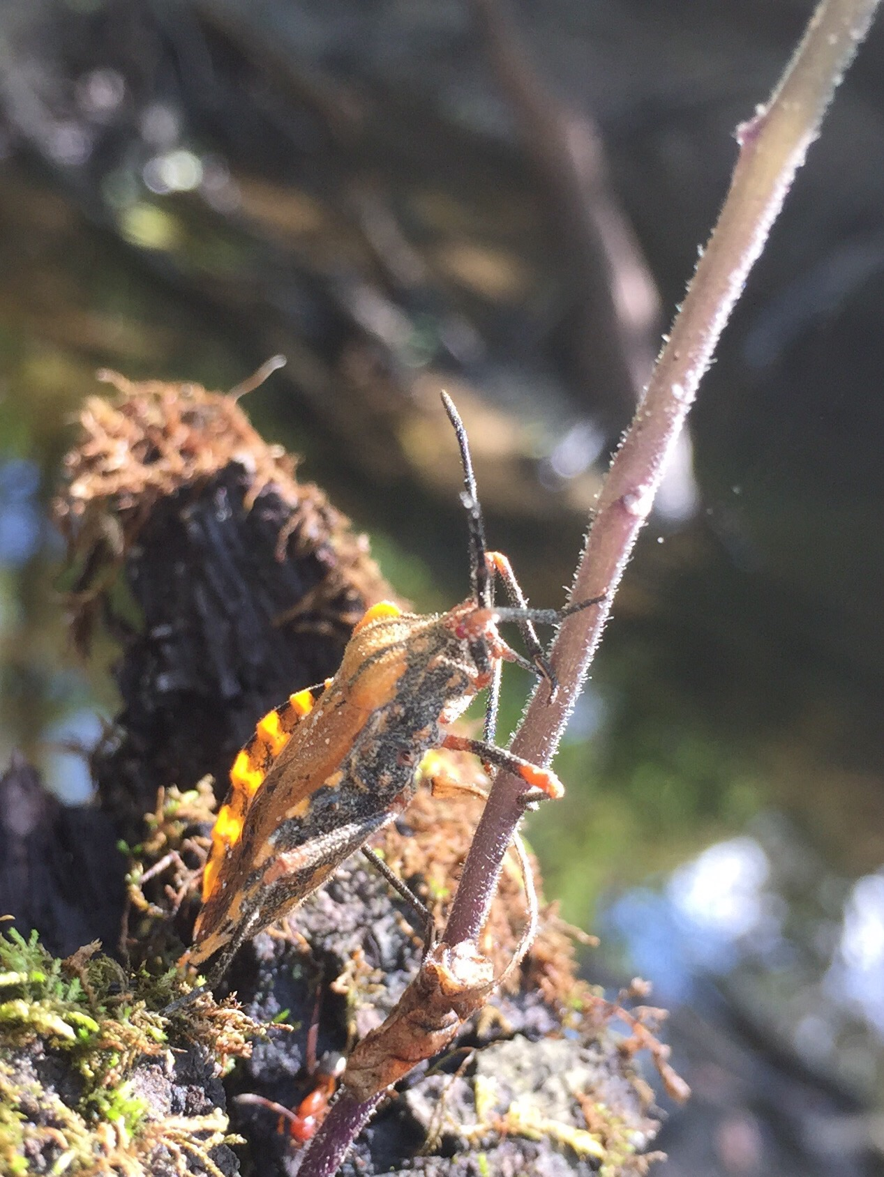 Unidentified insect using its proboscis to extract juice from the stem of a plant.
