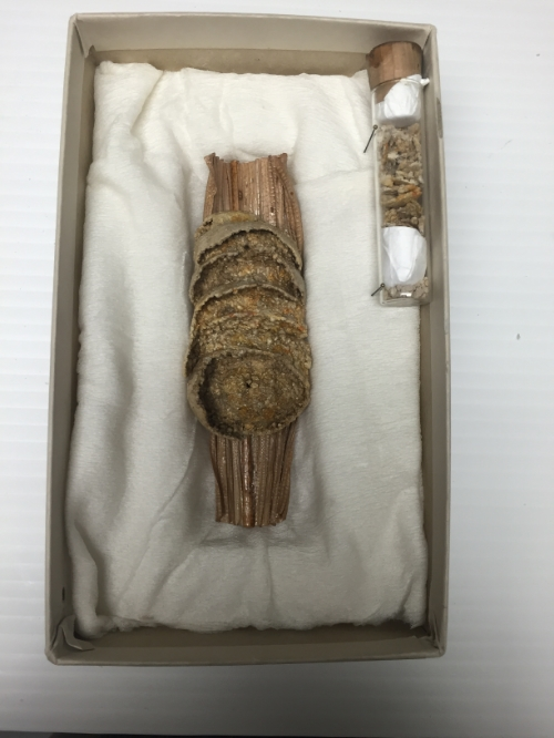 Fully preserved nest of the wasp species  Trigonopsis howesi .