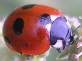 Ladybugs in search of somewhere to overwinter can sometimes swarm into houses. If left alone, they will depart again in the spring.