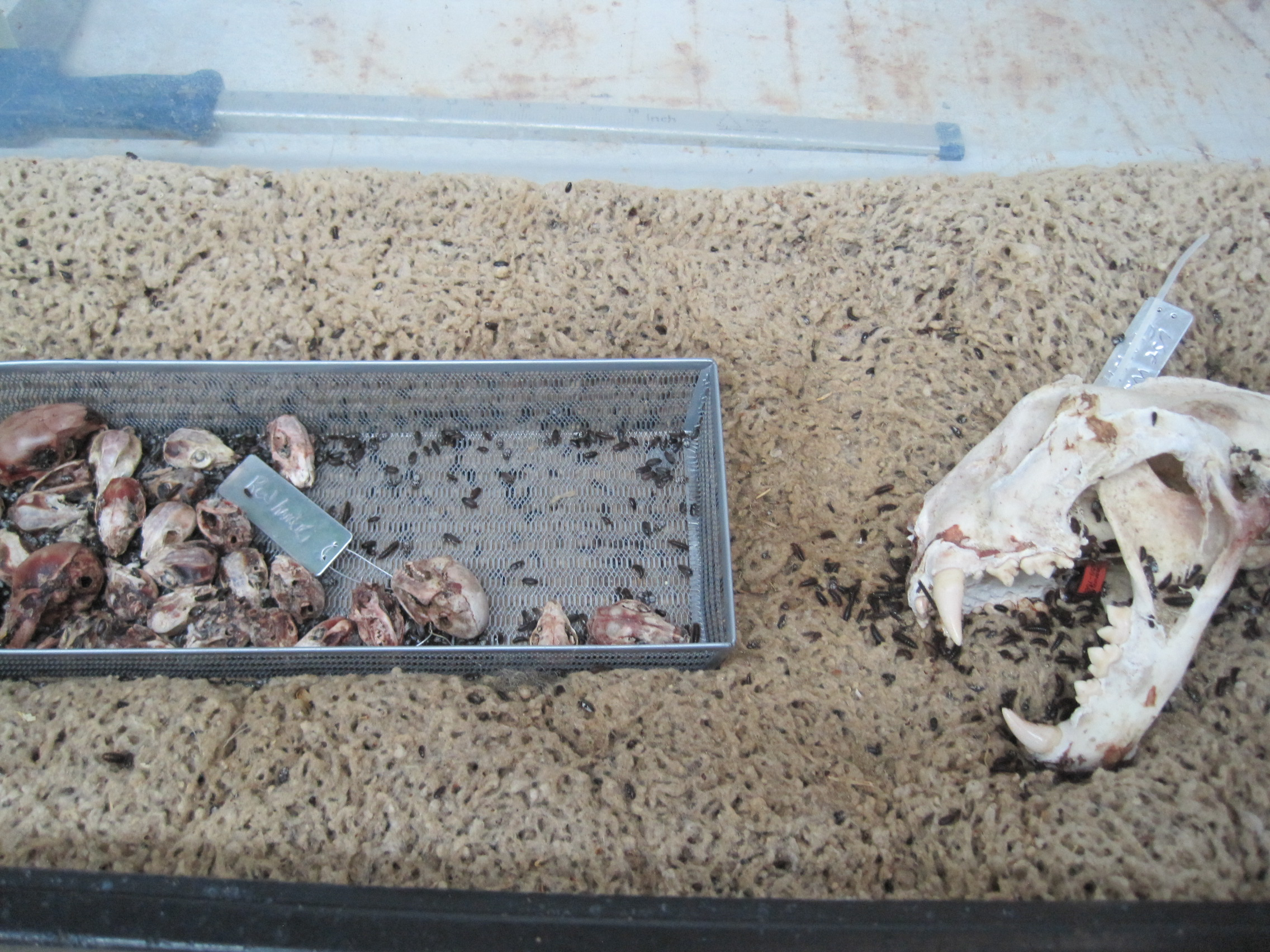 Image by JimJones1971.  In this picture, dermestid beetles are cleaning many skulls at once.