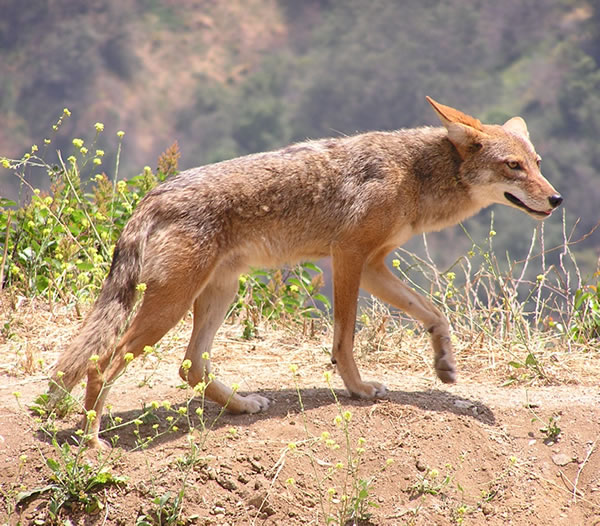 Photo by Justin Johnsen  A coyote