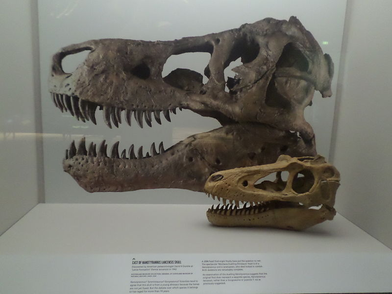 Photo by Tony Cairns  The small skull is a young Tyrannosaurus, but paleontologists thought it was a new species when they first discovered it.