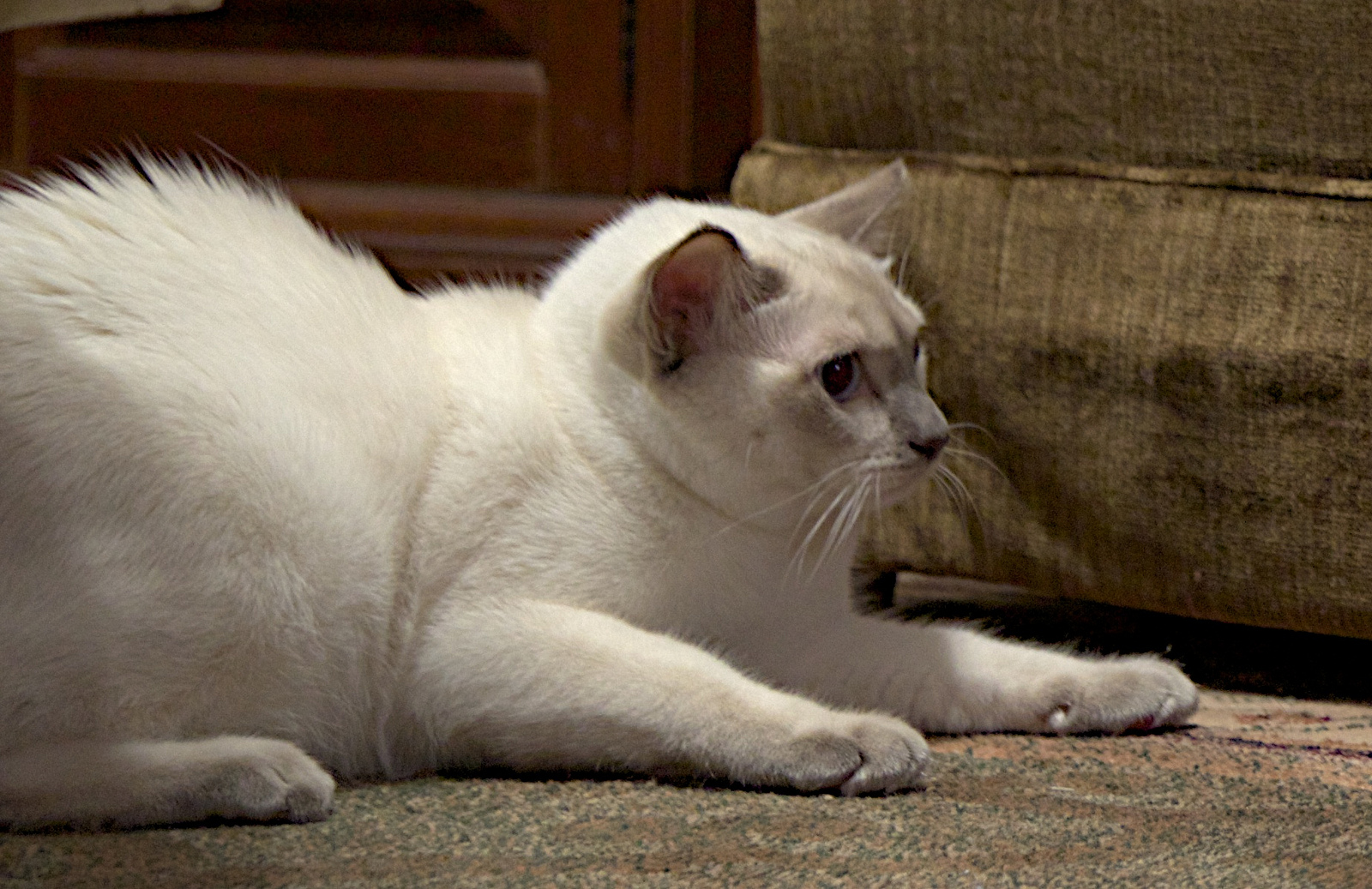 Courtesy of Joseph Dzikiewicz  Raised fur and an arched back are part of the posture of a frightened cat.