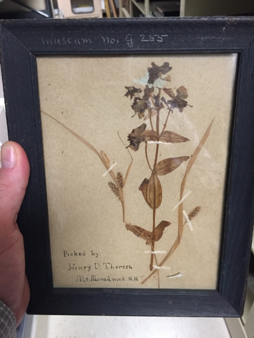 Flowers from Mt. Monadnock, NH picked and pressed by Thoreau (photograph by Tim Walsh)