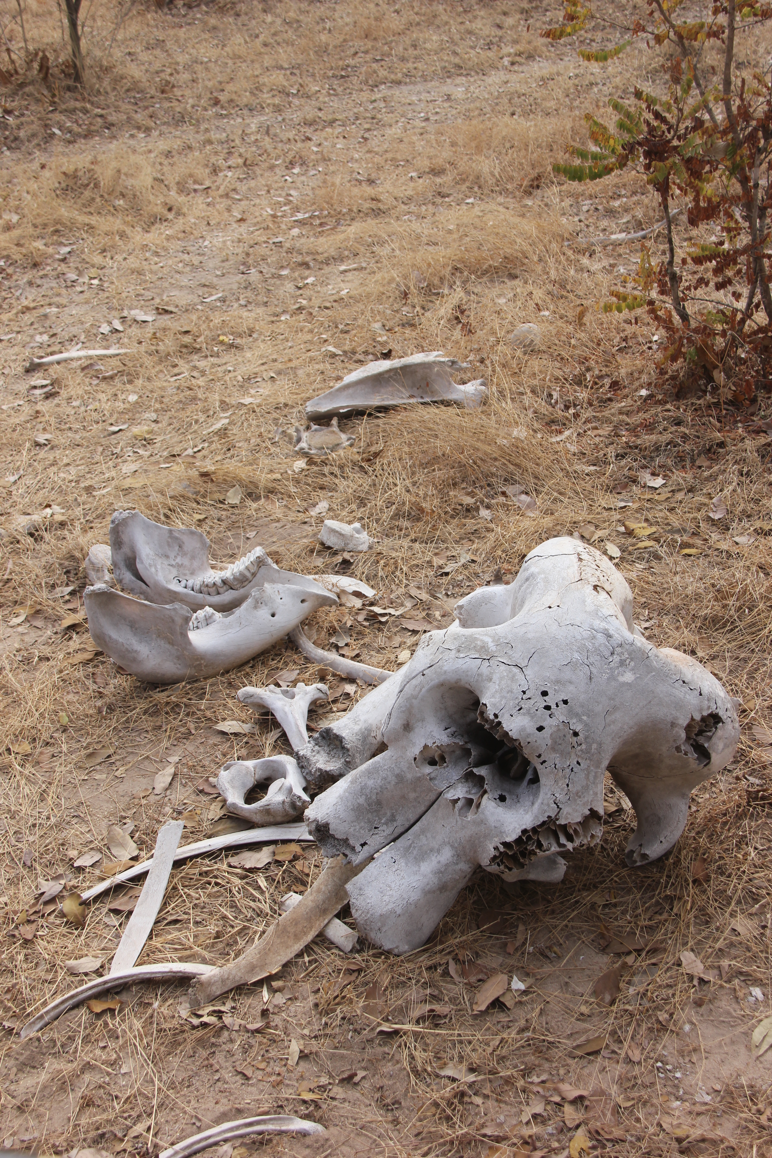 Courtesy of Laika Ac  Elephants are one of the few animals that display mourning behavior with their dead.