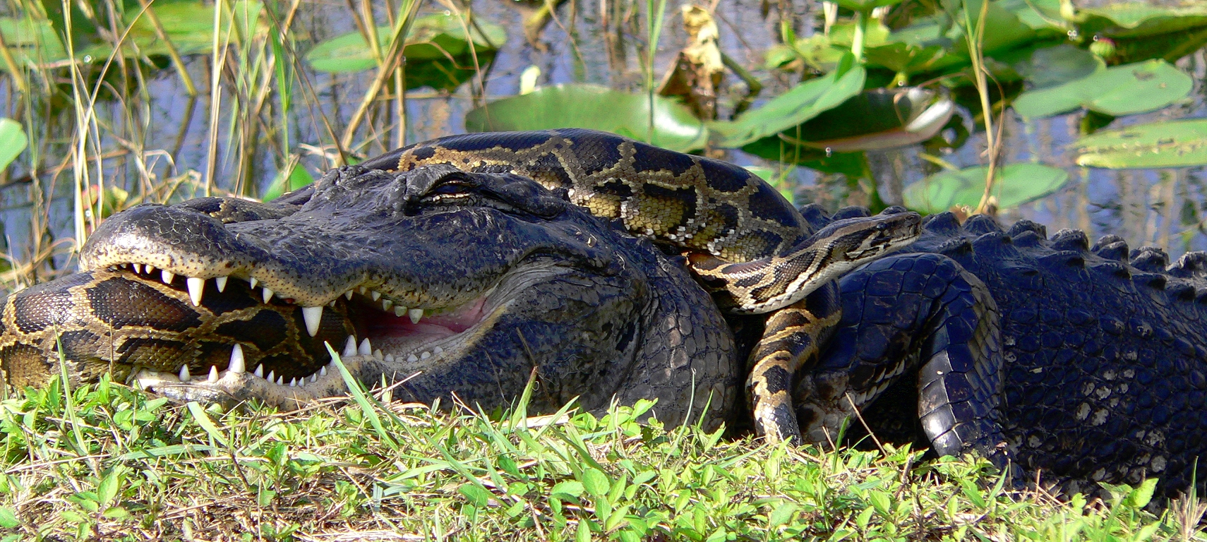 In the Everglades, sometimes an alligator will eat a python, but other times the python eats the alligator!