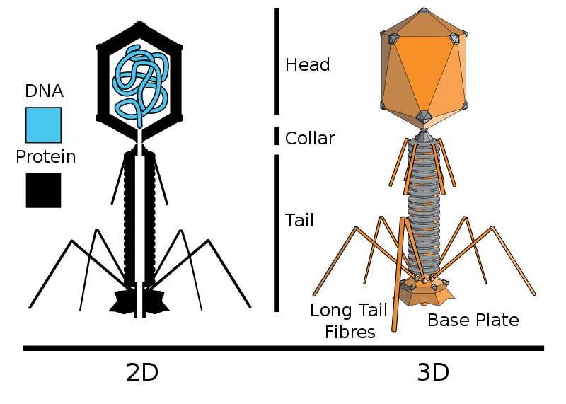 Courtesy of Adenosine  Bacteriophage viruses might look like alien landing vehicles, but their bizarre structure is the product of evolution.